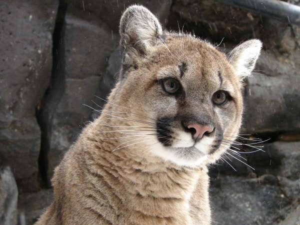 Lynx, Cougar & Bobcat