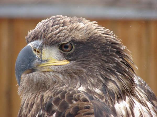 Eagle, Falcon & Owl