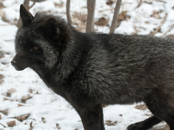 Fox & Coyotes