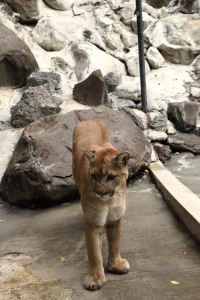 Zoo Idaho Wild Cats Cougars Bobcats