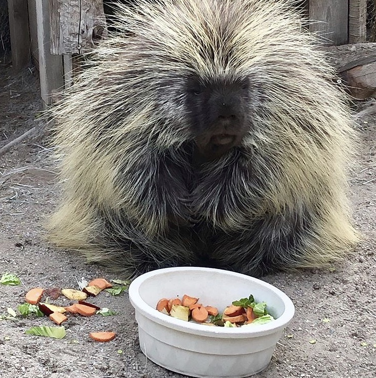 Buttercup the porcupine is the Animal of the Month - The Press | 742x739
